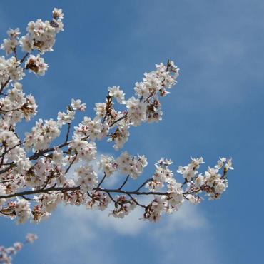 諏訪の春を告げる桜の名所 <br>蓼科山 聖光寺